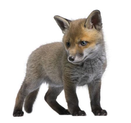 volpe rossa: Red Fox cucciolo (6 settimane) - Vulpes vulpes di fronte a uno sfondo bianco