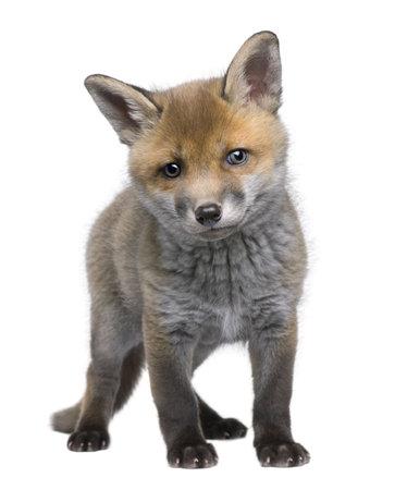 cachorro: Cachorro de zorro rojo (6 semanas de edad) - Vulpes vulpes delante de un fondo blanco