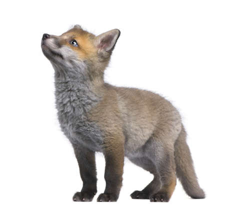 Red fox cub looking up (6 Weeks old)- Vulpes vulpes in front of a white background