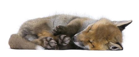 volpe rossa: Cucciolo di volpe rossa (6 settimane vecchie)-Vulpes vulpes davanti a uno sfondo bianco  Archivio Fotografico