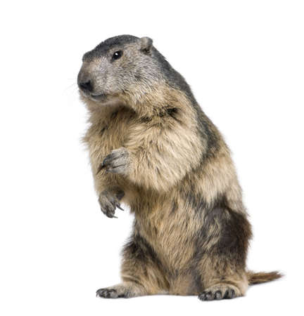 alertness: Alpine Marmot - Marmota marmota (4 years old) in front of a white background
