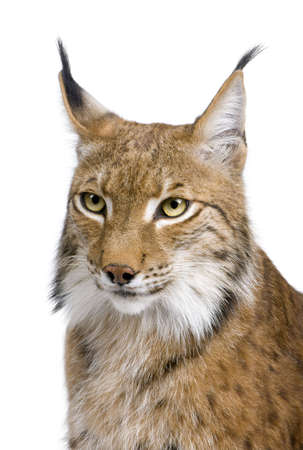 Close-up of a Eurasian Lynxs head - Lynx lynx (5 years old) in front of a white background