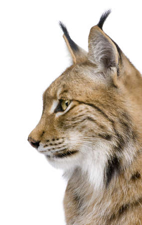 catlike: Close-up of a Eurasian Lynxs head - Lynx lynx (5 years old) in front of a white background