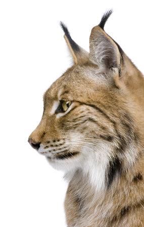lince: Detalle de una cabeza de lince euroasi�tico - Lynx lynx (5 a�os) delante de un fondo blanco