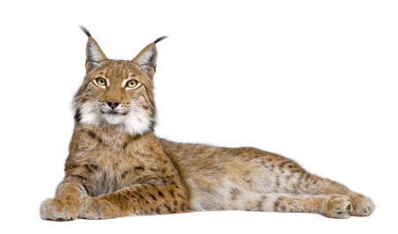 lynxs: Eurasian Lynx - Lynx lynx (5 ans) devant un fond blanc
