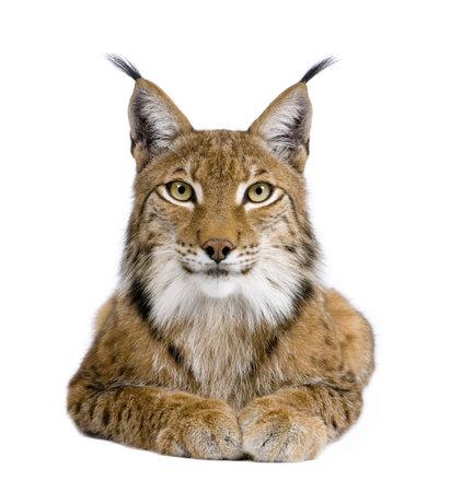 lince: Eurasi�tica Lynx - Lynx lynx (5 a�os) delante de un fondo blanco
