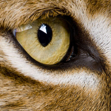 close-up on a feline eye - Eurasian Lynx - Lynx lynx (5 years old) in front of a white background Stock Photo