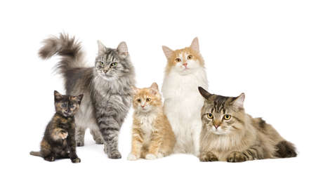 Group of 5 cats in a row : Norwegian, Siberian and persian cat in a row in front of a white background Stock Photo