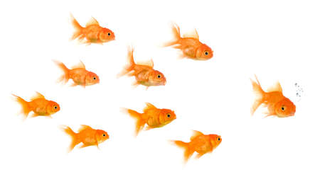 exclusion: School of Goldfish in front of a white background, this image can be used to represent : exclusion, bullying, chase, hunt,leading,gang, solidarity, etc