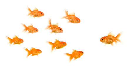 lead: School of Goldfish in front of a white background, this image can be used to represent : exclusion, bullying, chase, hunt,leading,gang, solidarity, etc