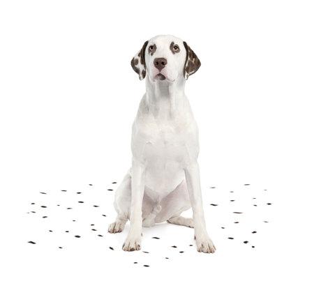 dalmatier: Dalmatische het afstoten van haar spots voor een witte achtergrond Stockfoto