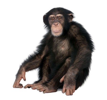 isolated in white background: Young Chimpanzee - Simia troglodytes (5 years old) in front of a white background Stock Photo