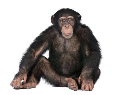 ape: Young Chimpanzee - Simia troglodytes (5 years old) in front of a white background Stock Photo