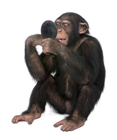 chimpansee: Jonge Chimpanzee zoekt zichzelf op de spiegel voor een witte achtergrond