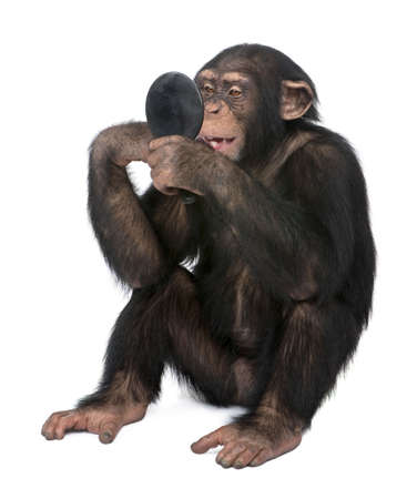 narcissistic: Young Chimpanzee looking himself at the mirror in front of a white background Stock Photo