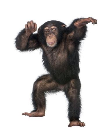 chimpansee: Jonge Chimpanzee dansen - simia troglodytes (5 jaar) voor een witte achtergrond