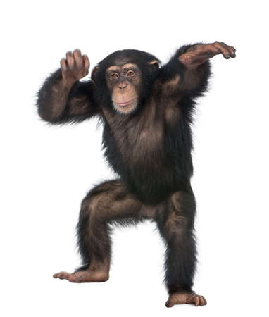 chimpanzee: Young Chimpanzee dancing - Simia troglodytes (5 years old) in front of a white background