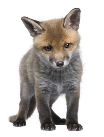 Red fox cub (6 Weeks old)- Vulpes vulpes in front of a white background photo