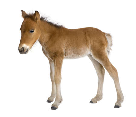 foal: Foal (4 weeks old) in front of a white background Stock Photo