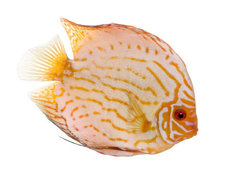 discus: Pigeon Blood Discus (fish) - Symphysodon aequifasciatus  in front of a white background