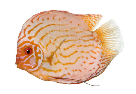 Pigeon Blood Discus (fish) - Symphysodon aequifasciatus  in front of a white background photo