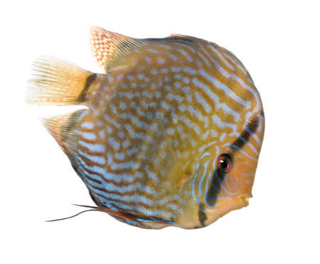 Red Turquoise  Discus (fish) - Symphysodon aequifasciatus  in front of a white background photo