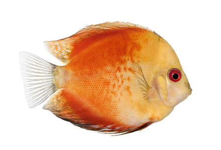 Fire Red Discus (fish) - Symphysodon aequifasciatus  in front of a white background photo