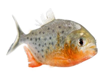 piranha: Piranha - Serrasalmus nattereri in front of a white background