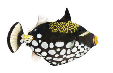 balistoides: Clown triggerfish - Balistoides conspicillum in front of a white background Stock Photo