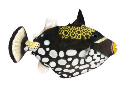 conspicillum: Clown triggerfish - Balistoides conspicillum in front of a white background Stock Photo