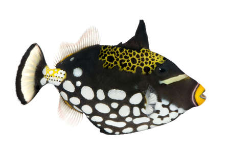 balistoides conspicillum: Clown triggerfish - Balistoides conspicillum in front of a white background Stock Photo