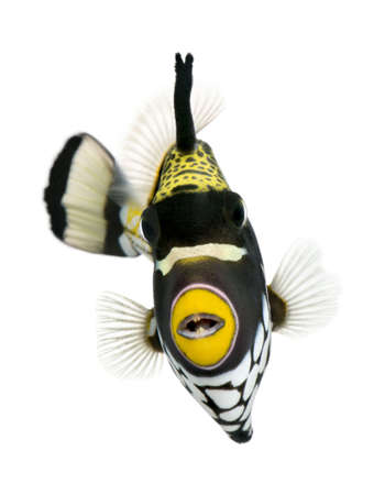 Clown triggerfish - Balistoides conspicillum in front of a white background Stock Photo - 5085380