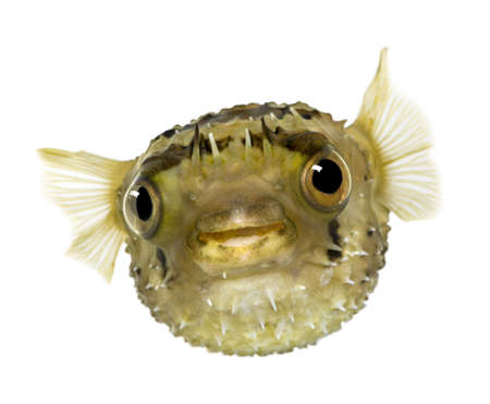 seawater: Long-spine porcupinefish also know as spiny balloonfish - Diodon holocanthus in front of a white background Stock Photo
