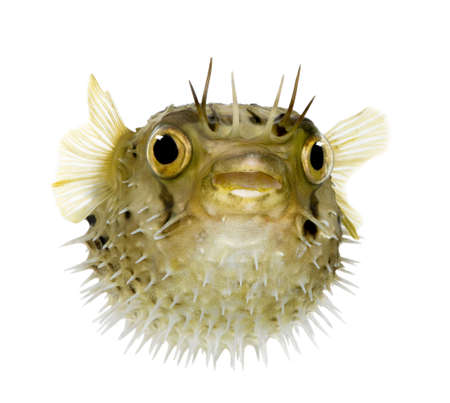 white  fish: Long-spine porcupinefish also know as spiny balloonfish - Diodon holocanthus in front of a white background Stock Photo