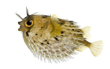 spiny: Long-spine porcupinefish also know as spiny balloonfish - Diodon holocanthus in front of a white background Stock Photo