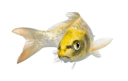 pez carpa: Amarillo Ogon Koi - Cyprinus carpio delante de un fondo blanco