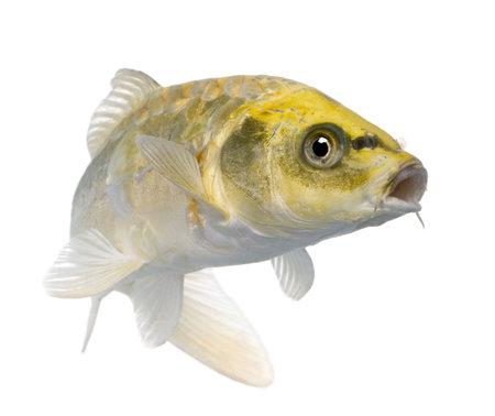 pez carpa: Amarillo Koi ogon - Cyprinus carpio delante de un fondo blanco