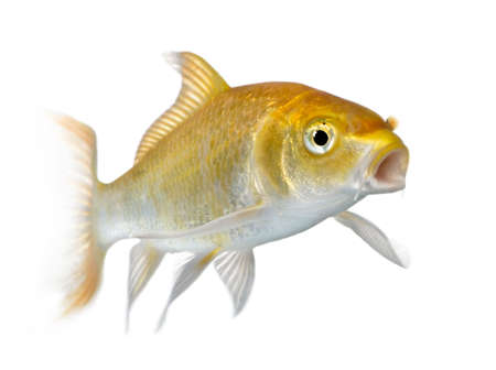 submersion: Yellow carp in front of a white background
