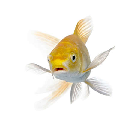 Yellow carp in front of a white background