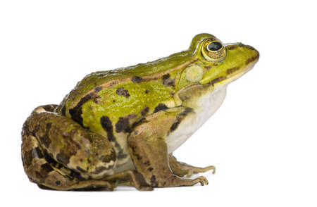 Edible Frog - Rana esculenta in front of a white background photo