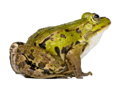 esculenta: Edible Frog - Rana esculenta in front of a white background Stock Photo