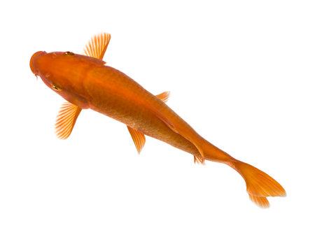 submersion: Orange Koi - Cyprinus carpio in front of a white background