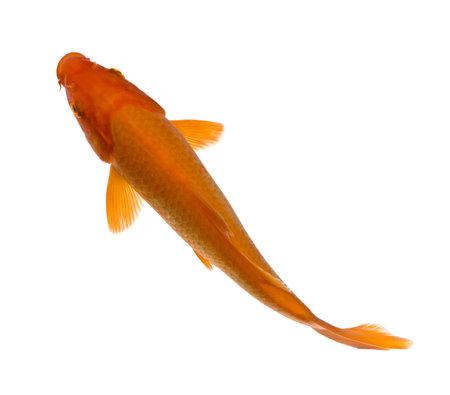 koi: Orange Koi - Cyprinus carpio in front of a white background