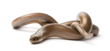 fragilis: slowworm - Anguis fragilis in front of a white background.  a Slowworm is limbless reptile