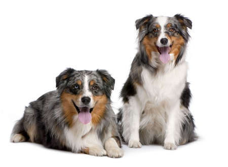 couple of two australian shepherd panting in front of a white background photo
