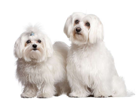 couple of two maltese dog in front of A white background photo
