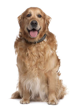 open collar: Brown Golden Retriever panting (7 years old) in front of a white background Stock Photo