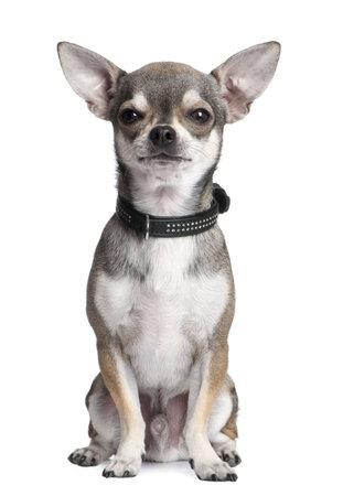 cane chihuahua: Chihuahua di fronte a uno sfondo bianco Archivio Fotografico