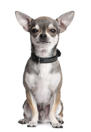 lap dog: chihuahua in front of a white background