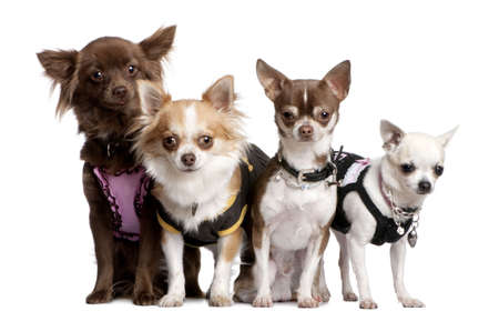 minuscule: Group of 4 chihuahuas dressed-up in front of a white background Stock Photo
